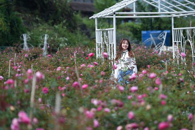 Ngắm hoa hồng nở rộ tại Sapa - 4