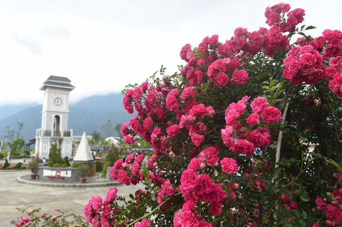 Ngoài ra, Sapa còn có một vườn hồng rộng với đủ sắc màu, kiểu loại dưới chân núi Fansipan. Đó là vườn hồng trong khuôn viên khu du lịch Sun World Fansipan Legend.