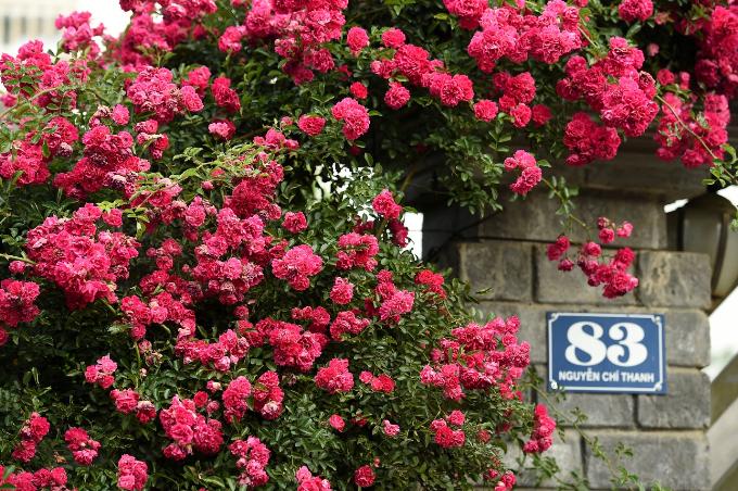 Dọc các con đường tại trung tâm thị trấn như Nguyễn Chí Thanh, Thác Bạc... hoa hồng nở rộ trước hiên nhà, trên mái ngói hoặc men theo vòm cổng, tường rào. Du khách đi giữa thị trấn trong sương sẽ có cảm giác lạc vào xứ sở hoa hồng.