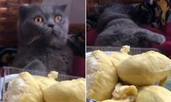 Chú mèo ngất xỉu khi ngửi mùi sầu riêng