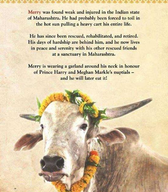 Bức chân dung của bò Merry được đóng khung lại và gửi tới Anh làm quà cưới cho Harry - Meghan. Ảnh: NDTV.