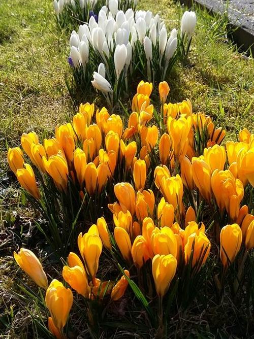 Nghệ tây là loài hoa được chị Hoàng Trang đặc biệt yêu thích bởi vẻ đẹp tinh khôi và sức sống mãnh liệt.