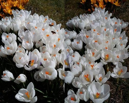 Hoa nở bung vào mùa xuân và khoe sắc cả khi trời có tuyết. Nhụy nghệ tây được thu hoạch vào mùa thu dùng làm gia vị hoặc làm đẹp.