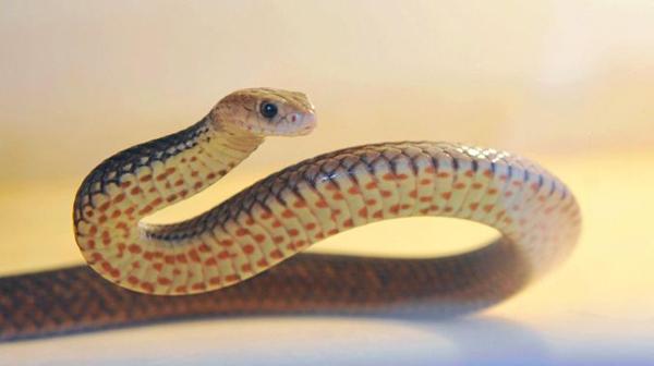 Có hàng trăm loài rắn sinh sôi, phát triển ở đất nước nhiệt đới Ấn Độ. Ảnh minh họa: Chronicle.