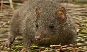 Hai loài vật có túi ở Australia nguy cơ tuyệt chủng vì 'nghiện' sex