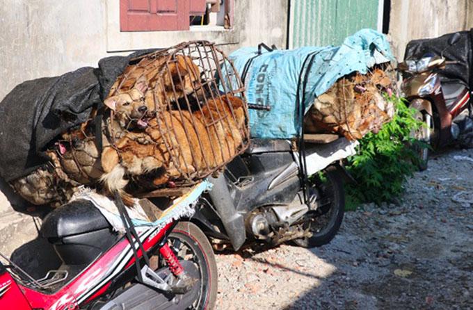 Chó bắt về được nhốt trong lồng, buộc sẵn sau xe máy để đưa đi nhập cho đầu nậu làm thịt. Ảnh: C.A