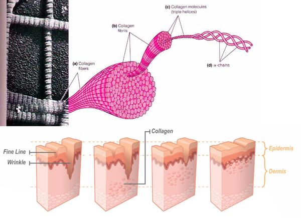 Khôi phục từ nền tảng chất nền collagen, elastin là cơ sở quan trọng giúp làn da già nua nhanh chóng được tái sinh và phục hồi tươi trẻ.
