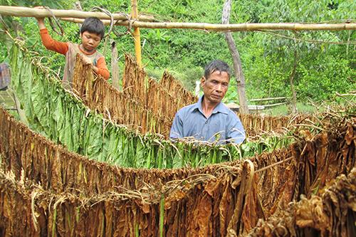 Ông Hồ Văn Ky trồng thuốc lá ở thung lũng Ka Ruông, phơi khô rồi đưa ra trung tâm đổi nhu yếu phẩm. Ảnh: Hoàng Táo.