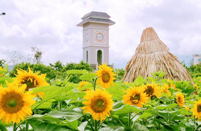 Hai cánh đồng hoa hướng dương gây náo loạn ngày đầu hè