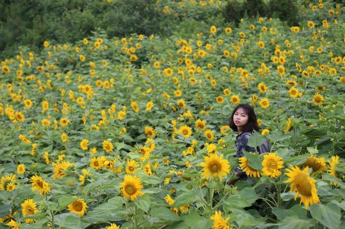 Ngắm hoa hướng dương - 2