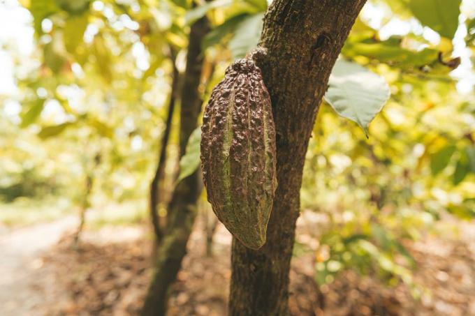 Đổ bánh xong thì đi tiếp đến vườn ca cao của chú Mười Cương ở Mỹ Khánh, Phong Điền, nơi bỏ mối hạt ca cao để làm thành một trong những loại sô-cu-la ngon nhứt thế giới.   Đây cũng là nơi sản xuất ra thanh sô-cu-la đầu tiên của Việt Nam mình.