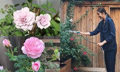 Công thức chăm sóc hoa hồng của Tăng Thanh Hà
