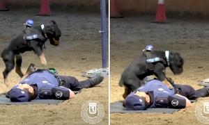 Chó nghiệp vụ hô hấp nhân tạo cứu người