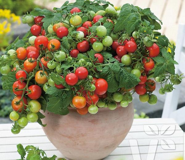 Mẫu cây cà chua chị An mang tới cửa hàng.