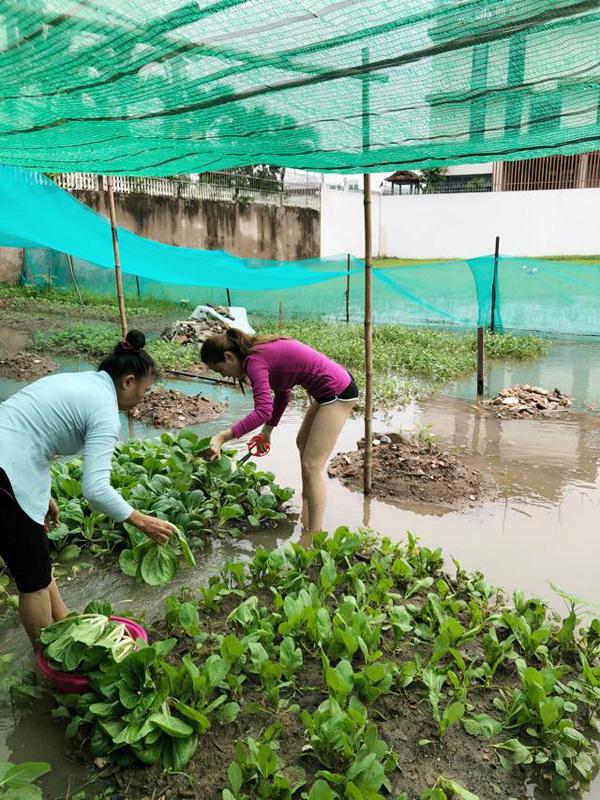 Không chỉ trồng rau trên sân thượng, Phương Lê còn trồng cải, rau muốngtrong khu vườn rộng cả nghìn mét vuông quanh nhà.