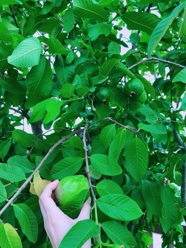 Phương Lê tiết lộ, hầu hết những cây ăn quả như cóc, ổi, xoài... được cô bứng cả gốc từ quê nhà ở Trà Vinh lên Sài Gòn trồng.