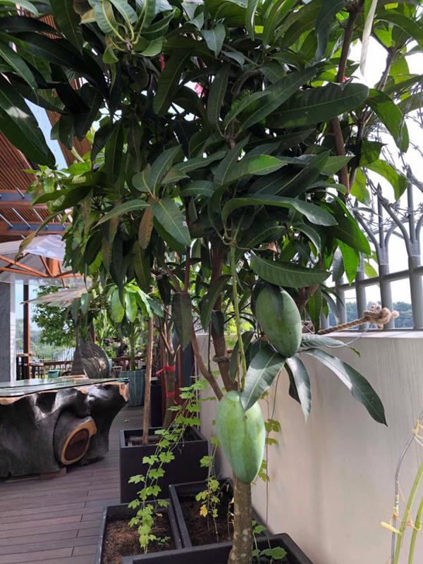 Cây xoài trồng trong chậu chưa cao lắm nhưng đã ra những quả đầu tiên. Hoa hậu chia sẻ, cô trồng cây để ngôi nhà có khoảng xanh và giúp chủ nhân giải tỏa stress bằng việc làm vườn, chăm sóc cây cối sau những giờ làm việc bận bịu, căng thẳng.