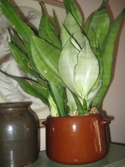 6 loại cây trồng trong nhà được ví như máy làm mát không khí - 4