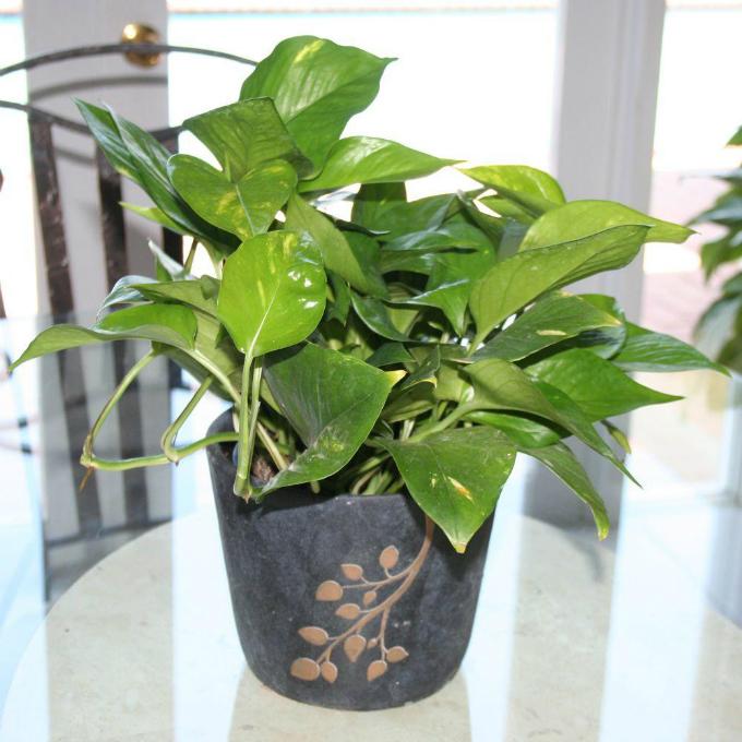 6 loại cây trồng trong nhà được ví như máy làm mát không khí - 5