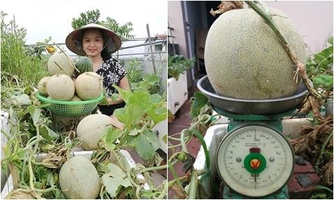 Bà mẹ Hà Nội thu hàng tạ dưa lưới, dưa hấu trên sân thượng 50 m2