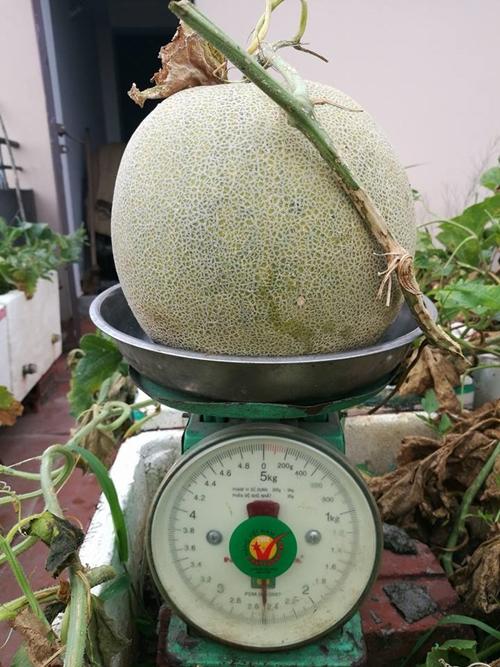 Vụ dưa này chị thu khoảng 38 quả dưa lưới; mỗi quả nặng chừng 2,5 kg.