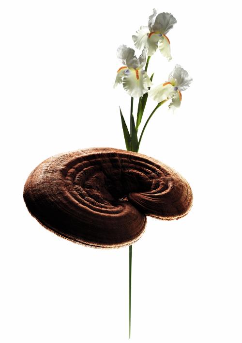 Nấm Reishi và rễ cây Iris là haidược thảo quý củaNhật Bản, có tác dụng cao trong làm đẹp.