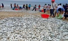 Người dân đổ xô ra biển bắt ba tấn cá dạt vào bờ