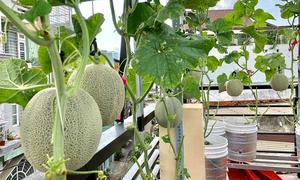 Nông dân sân thượng bày cách trồng dưa lưới 'bán thủy canh'