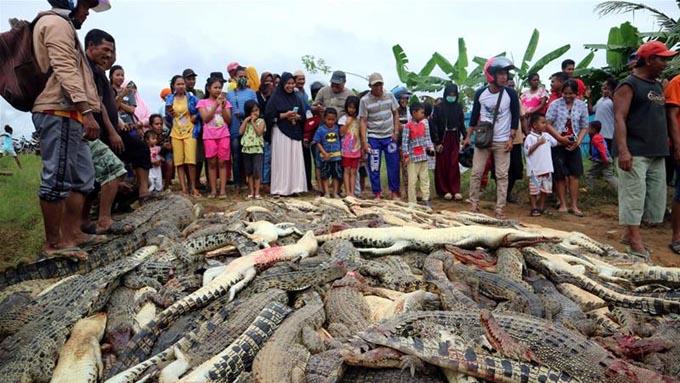 Xác hàng trăm con cá sấu nằm ngổn ngang trên mặt đất sau khi chúng bị dân làng sát hại để trả thù. Ảnh: Reuters.