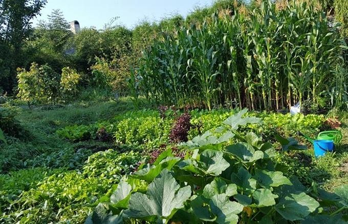 Khu vườn nhà chị Thu Thủy, 26 tuổi, sống cùng chồng và con trai tại CH Czech, tuy chưa được quy hoạch bắt mắtnhưng nhận được nhiều lời khen bởi rau gì cũng có, cây nào cũng xanh tươi.