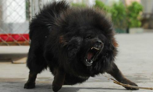 Bé gái 8 tháng tuổi ở Hà Nội bị chó ngao Tây Tạng cắn chết