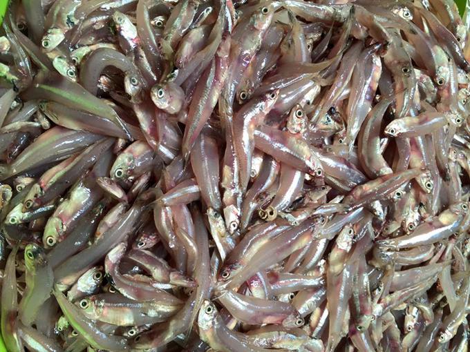 Cá cơmtươi, còn nguyên máu. Đây chính là yếu tố làm cho nước cốt cá thơm ngon. Thế nên, dù ở Hà Nội có nhiều chỗ bán, chị Bùi Phương vẫn cầu kỳ đặt từ Phú Quốc về loại cá được vận chuyển bằng hàng không. Để làm một mẻ mắm, chị Phương mua khoảng 6 kg cá.Cá mua về rửa nhẹ với nước muối, vớt ra để ráo.