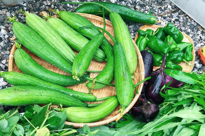 Theo chị Quỳnh, mướp đậu trái sau 2 tuần là có thể thu hoạch.