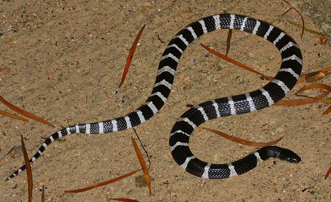 Rắn cạp nong là một trong những loài rắn nguy hiểm nhất thế giới. Ảnh: Flickr.