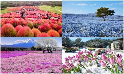Ibaraki - vùng đất của muôn loài hoa ở Nhật Bản