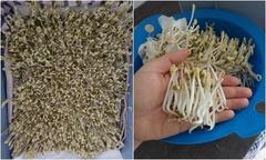 Nàng dâu Việt tại Đức làm giá đỗ không cần tưới nước, 3 ngày thu hoạch