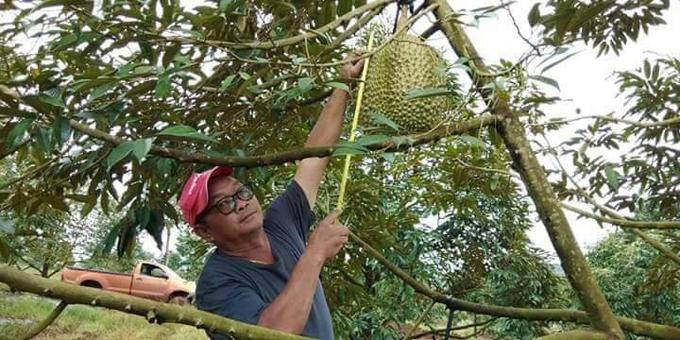 Nông dân Thái bán đấu giá quả sầu riêng nặng 18 kg - 1