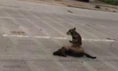 Chó hoang không rời xác đồng loại bị xe tông chết