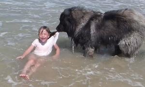Chó kéo bé gái lên bờ tránh đuối nước