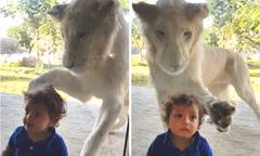 Sư tử vồ bé trai sau tấm kính ở công viên hoang dã