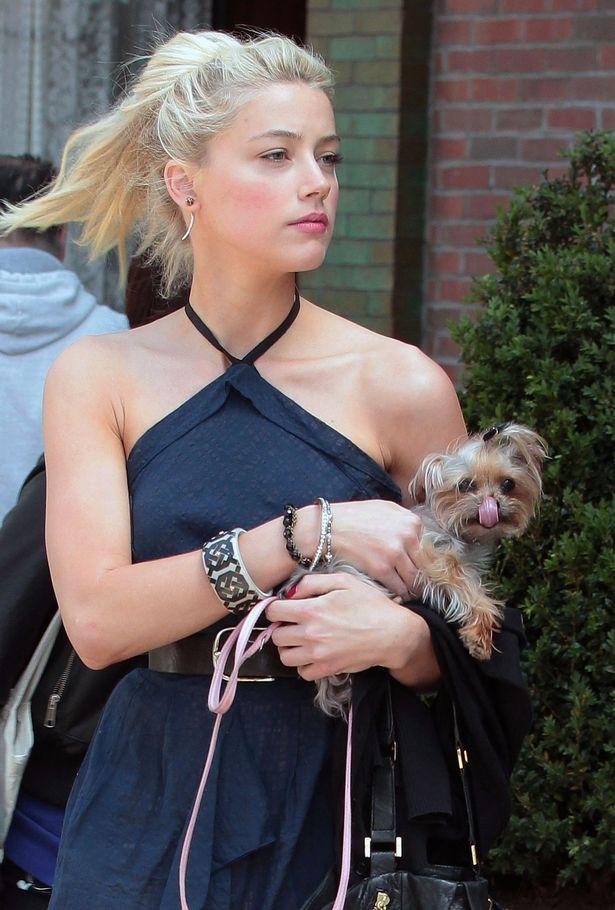 Amber Heard cho rằng con Boo (ảnh) đã tiểu bậy lên giường của họ.
