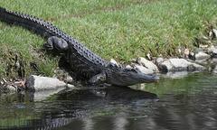 Người phụ nữ bị cá sấu tấn công khi đang dắt chó đi dạo