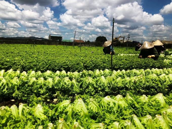 Một trong những trang trại rau hợp tác với MM Mega Market tại Lâm Đồng.