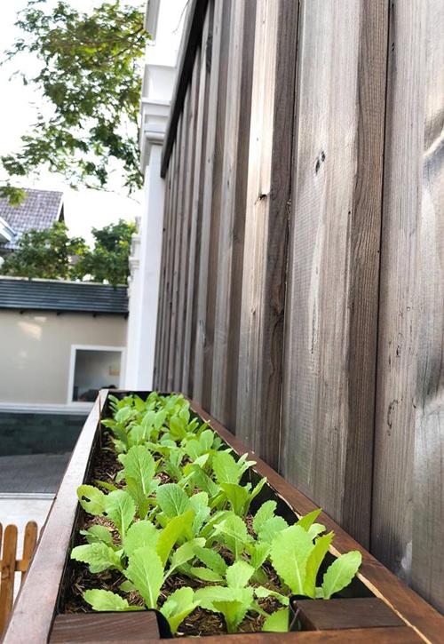 Khóm rau cải sắp được thu hoạch.