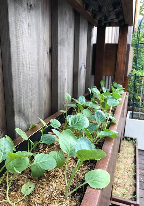 Vì đặt chậu trồng rau ngoài trời nên cô phủ thêm một lớp rơm, rạ trên bề mặt nhằm giữ ẩm cho cây.