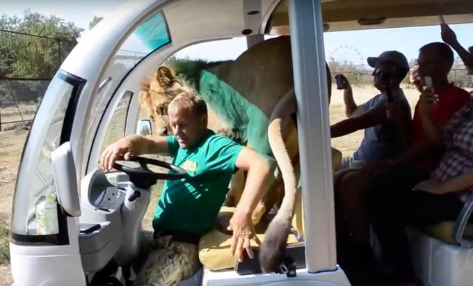 Tài xế xe điện sợ hãi khi sư tử Vilya nhảy lên xe và trêu đùa hành khách. Ảnh: East2west News.