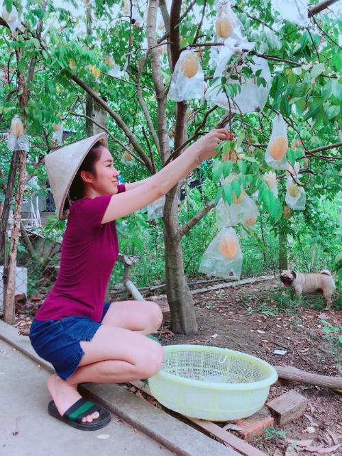 Diễn viên Lê Phương hái khế trong vườn ở quê.