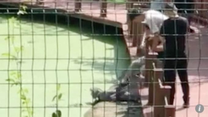 Nam du khách thò chân qua hàng rào liên tục đạp vào lưng con cá sấu đang nằm phơi nắng trên tảng đá gần bờ ở Khu bảo tồn cá sấu Dương Tử, tỉnh An Huy,hồi đầu tuần. Ảnh: Weibo.