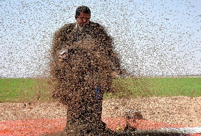 Fatani kiên nhẫn đứng chờ hàng nghìn con ong bay đến vây lấy mình. Ảnh: Reuters.