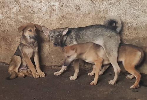 Chó nuôi trong chuồng tại một lò mổ ở Hà Nội. Ảnh: Gia Chính.